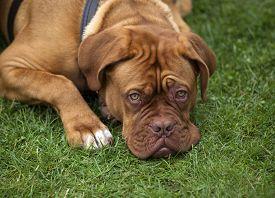 image of bordeaux  - sad Dogue de Bordeaux lying on the grass - JPG