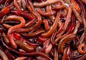 stock photo of nightcrawler  - A photo of a large number of worms or canadian nightcrawlers - JPG