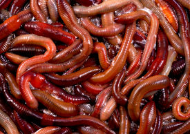 image of nightcrawler  - A photo of a large number of worms or canadian nightcrawlers - JPG