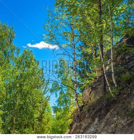 Birch Trees Pines And Cedars