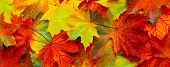 Beautiful Panoramic Nature Autumn Background. Colorful Texture With Fallen Maple Leaves. Group Multi poster