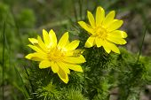 pic of adonis  - Spring yellow flowers of Adonis on green meadow - JPG