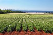 Rows of flowering potato plants in a potato field with the Confederation Bridge in the distant backg