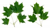 Two Branches Of A Maple On A White Background. Green Maple Leaves. Isolated Branches Of The Maple. poster