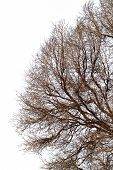 Background Of Trees For A Double Exposure, Trees Isolated On White Background, Branches On A Homogen poster