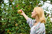 Farmer Lady Picking Ripe Fruit From Tree. Harvesting Concept. Woman Hold Ripe Apple Tree Background. poster