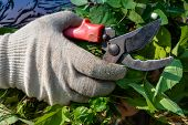 Hand In Glove With Garden Clippers Cuts Bush. Cutting Faded Stems, Hedge, Branches With Gardening To poster