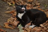 Cat Dormant In Autumn Leaves, Yawns, Wants To Sleep. poster