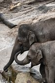 Elephants in zoo, mom and calf eating. two Asian elephant. poster