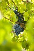 foto of grape-vine  - Vineyard - JPG