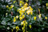 Wet Birch Branch With Yellow Leaves In Rainy Weather. Rainy Autumn Day poster