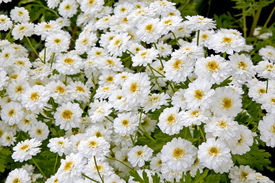 image of feverfew  - Feverfew or a herb also know as matricaria that is used as a home remedy for headaches - JPG