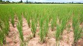 picture of premature  - Rice field in Banteay Meanchey Province Cambodia prematurely dried out due to lack of rain - JPG