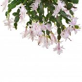 picture of schlumbergera  - Christmas Cactus blooming  - JPG