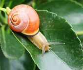snail on a leaf on natural background.