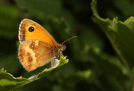 foto of gatekeeper  - A close up of a Gatekeeper butterfly  - JPG