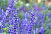 picture of blue-salvia  - A Close - JPG