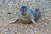 stock photo of pimp  - Seal on the dune of Helgoland posing to the cam - JPG