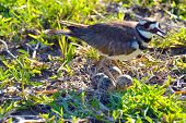 foto of killdeer  - Killdeer Plover bird guarding her nest of four eggs.