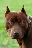 stock photo of stop fighting  - a pit bull looks at me directly in the eye - JPG