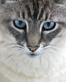 image of blue tabby  - close - JPG