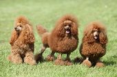 stock photo of hairy tongue  - Three red poodle posing on the lawn - JPG