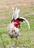 picture of bantams  - White Bantam on grass in Countryside from thailand - JPG