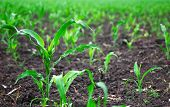 picture of humus  - Young green corn plants on a field - JPG