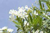 foto of oleander  - Close up image of the white oleander flowers - JPG