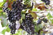 picture of garden eden  - Grapes in the vineyard the garden of Eden Chiang Mai Thailand - JPG