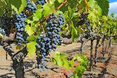 image of vines  - A shallow depth of field highlights ripe purple wine grapes hanging on the vine at a vineyard in the Napa Valley near Calistoga California - JPG