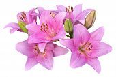 stock photo of stargazer-lilies  - pink lilies isolated on a white background - JPG