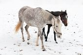 pic of dapple-grey  - two horses dapple - JPG