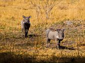 Two Warthogs