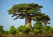 stock photo of baobab  - Green baobab at sunny day - JPG