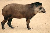 image of tapir  - a rare and exotic mammal a tapir - JPG