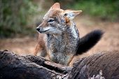 pic of jackal  - Black backed jackal standing at the carcass of a dead elephant