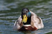 stock photo of male mallard  - male mallard duck  - JPG