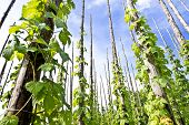 picture of hop-plant  - traditional hop garden in Zatec Town in Czech Republic - JPG
