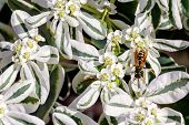 image of wasp sting  - European Wasp on white flowers in summer - JPG