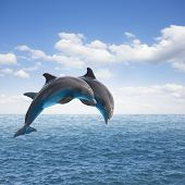 foto of bottlenose dolphin  - two jumping dolphins - JPG