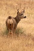 stock photo of mule deer  - A Mule Deer buck looking up from a Colorado field.