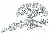 picture of olive shaped  - Olive tree graphic - JPG