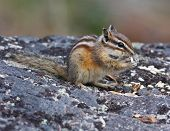 picture of chipmunks  - Chipmunk resting on a rock while eating seeds - JPG