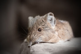 pic of shrew  - Close-up of a Short-eared elephant shrew (Macroscelides proboscideus).