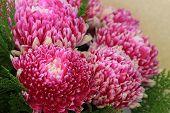 foto of chrysanthemum  - Chrysanthemum flowers - JPG