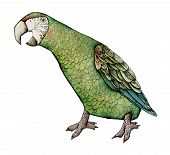 stock photo of green-winged macaw  - Macaw bird milatary green color artistic illustration - JPG