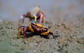 picture of marshes  - The Atlantic marsh fiddler crab Uca pugnax feeding at Natural Park of Los Torunos Cadiz Spain - JPG