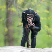 foto of cheeky  - Frontal Portrait of a Cheeky Young Chimpanzee - JPG