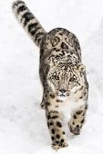 picture of snow-leopard  - A Snow Leopard Walking in the Snow - JPG